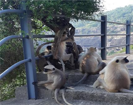 인도 아잔타 석굴을 지키는 긴 꼬리 원숭이 가족이 재미있게 놀고 있다.